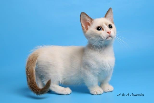 котенок манчкина фото