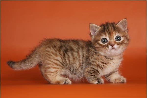 фото котенка манчкина