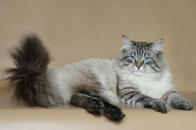 кот невский маскарадный