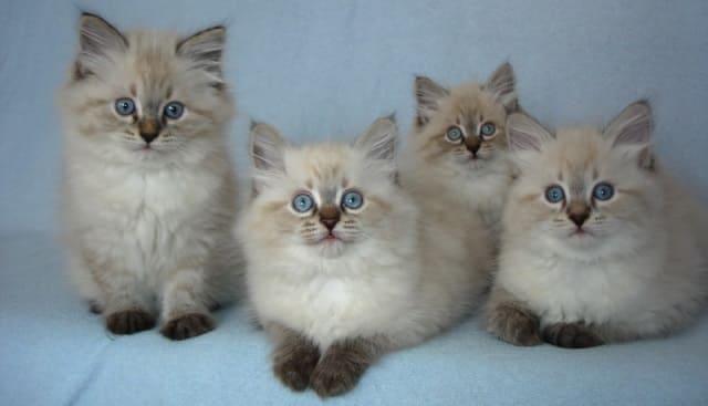 котята невской маскарадной породы