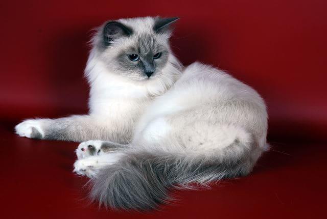 красивая невская кошка