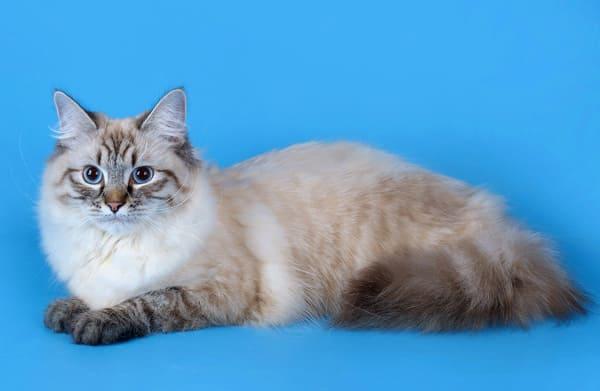фото породы кошек невской маскарадной