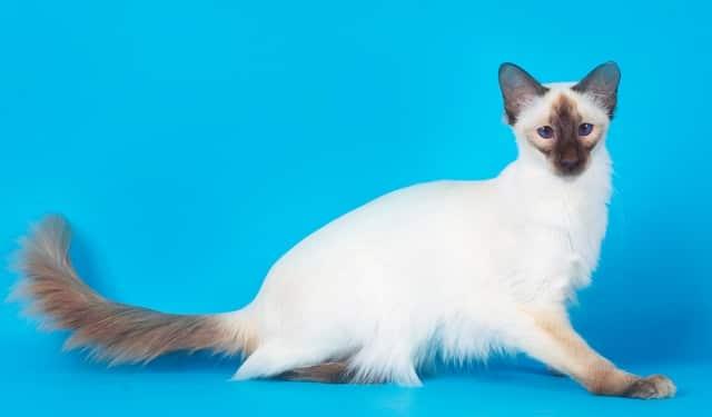 порода балинезиской кошки