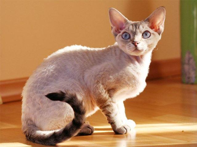 кошка девон рекс
