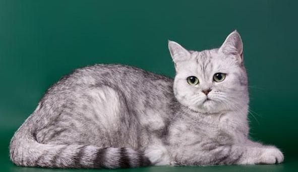 кошка породы скоттиш-страйт