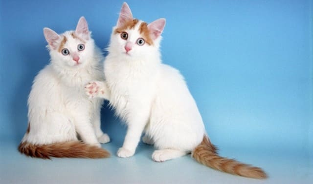 котята турецкого вана фото