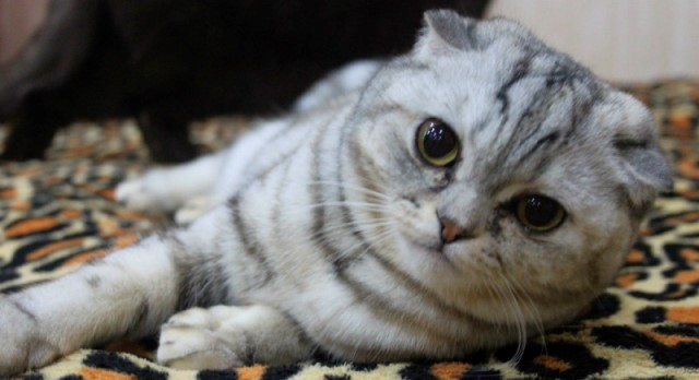 scottish-fold-foto