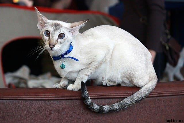 сиасмкая кошка на выставке