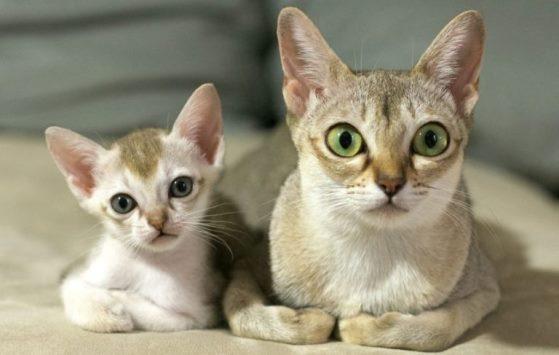 фото маленькой сингапурской кошки