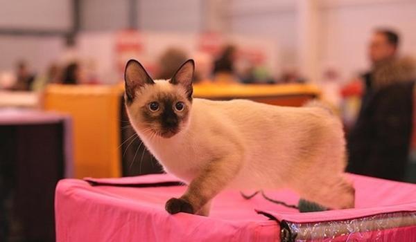 маленькая порода кошек скиф тай-дон