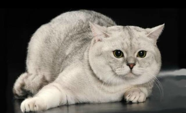 фото кошки скоттиш-страйт