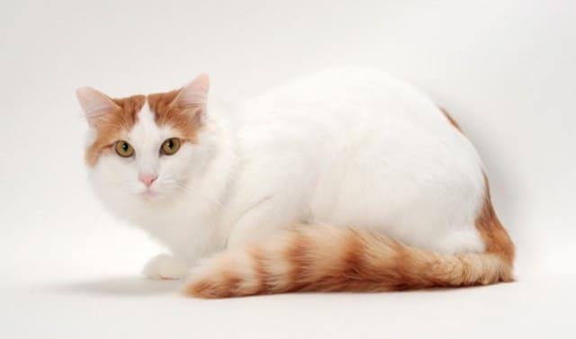 порода кошек турецкий ван