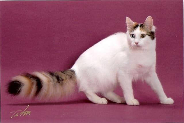 ванская кошка фото