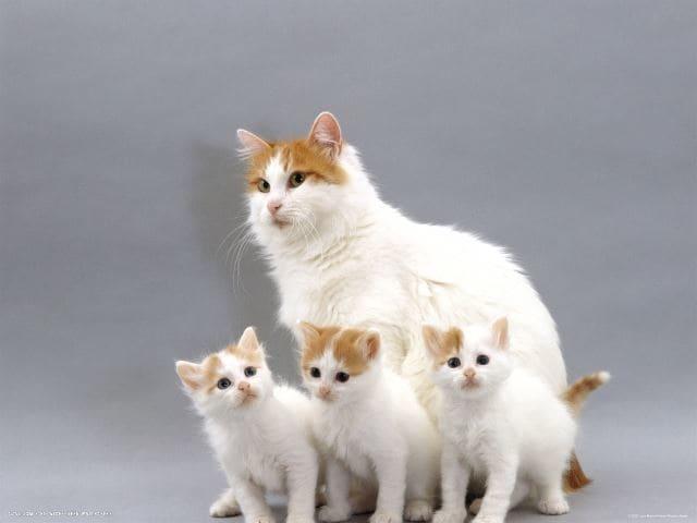 кошка и котята турецкого вана фото