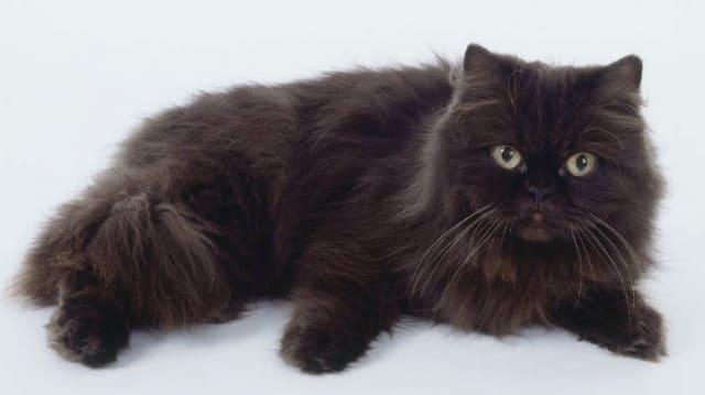 фото йоркской кошки