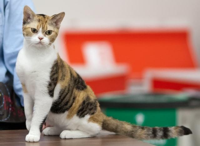 жесткошерстная кошка фото