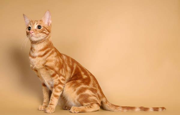 кошка анатолийская