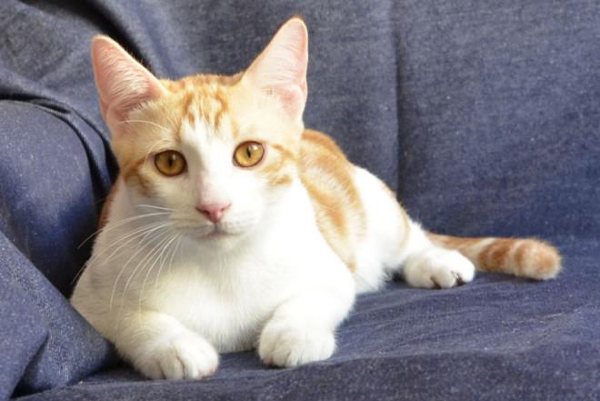 порода кошек анатолийская фото