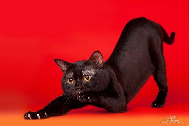 студийное фото кошки