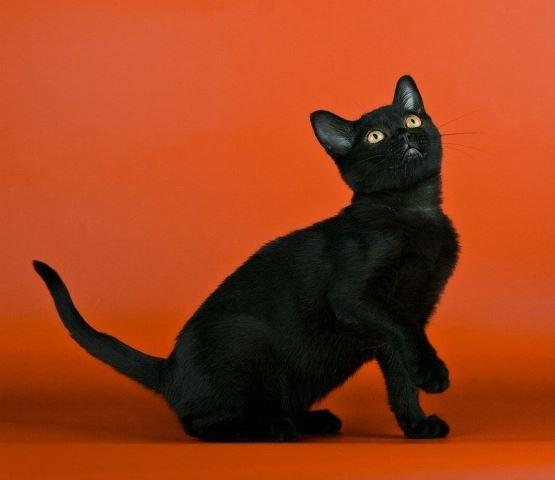 студийное фото бомбейской кошки
