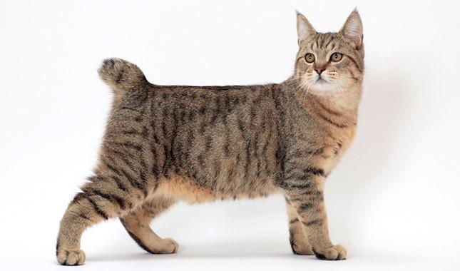 пиксибоб кошка с кисточками на ушах