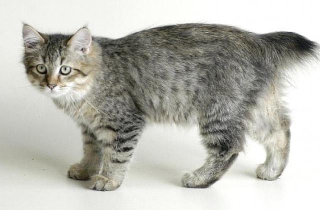 кошка пиксибоб фото