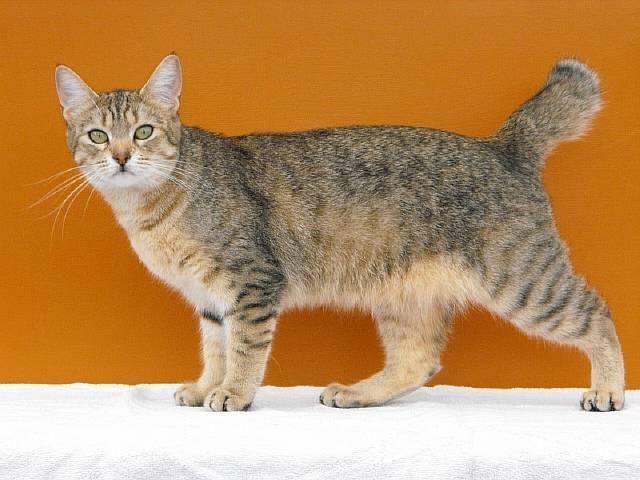 кошка породы пиксибоб фото