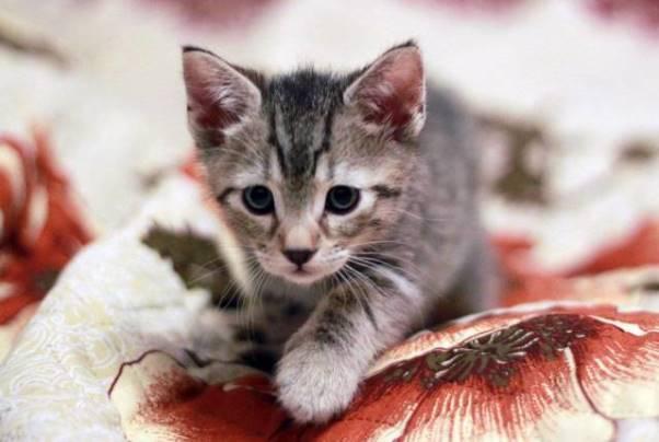 котенок пиксибоба