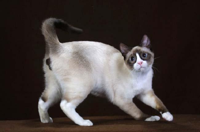 порода кошек сноу-шу