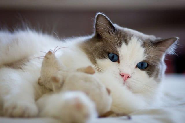 кошки рэгдолл фото