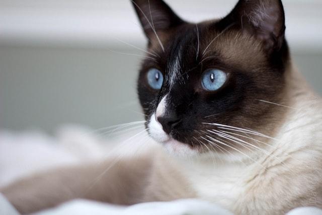 кошка сноушу